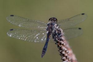 Sympetrum danae Männchen